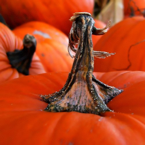 patch o\' pumpkins